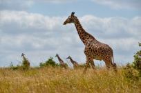 The Masai Giraffe