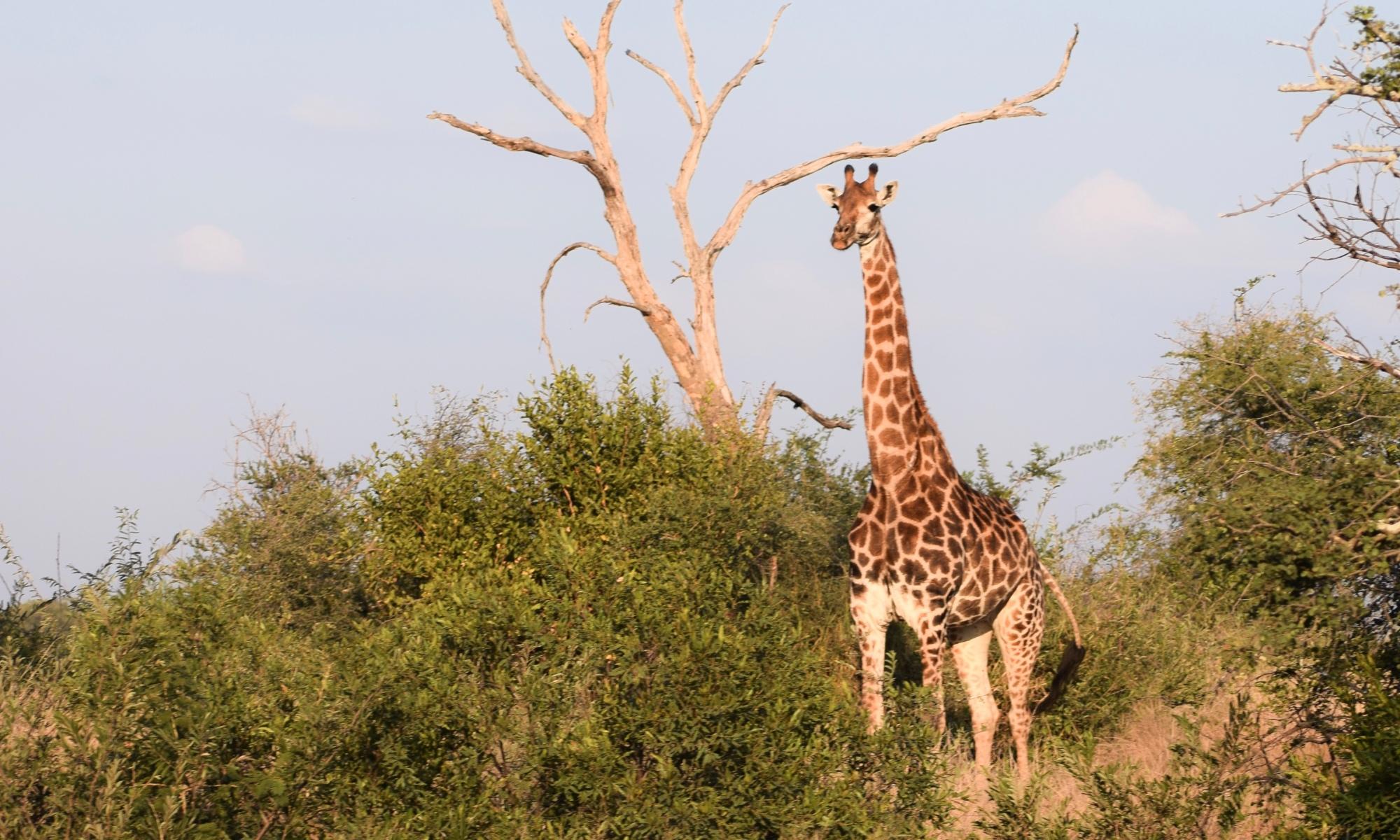 Giraffe in South Africa- Photo taken by Jeff Hyer